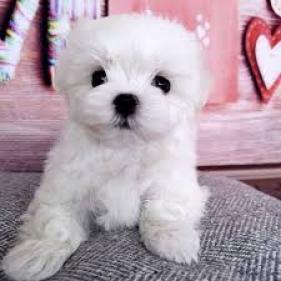 Regalo si +(34) 634156399 mini toy cachorros bichon maltes