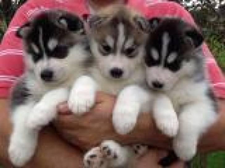 Regalo husky siberiano disponibles