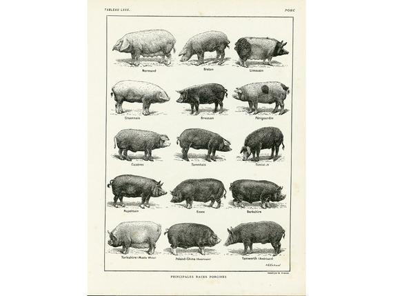 1922 raza de cerdo, razas de cerdo, ilustración antigua,