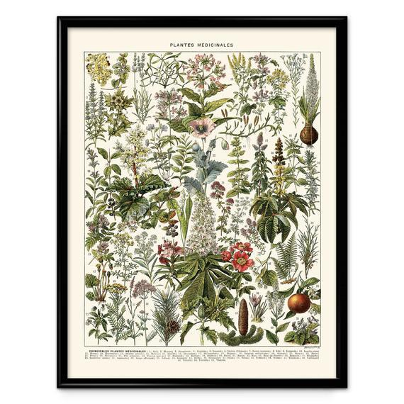 Plantas medicinales ilustración vintage impresión 2 -
