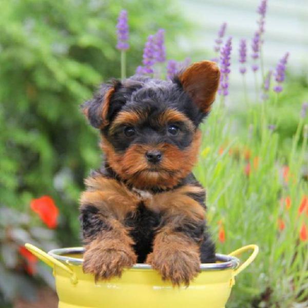 Regalo cachorros yorkshire terrier,./.,