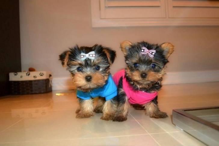 Regalo cachorros yorkshire terrier.,l
