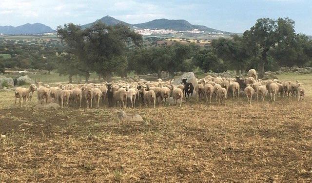 Venta de 500 Ovejas en Badajoz