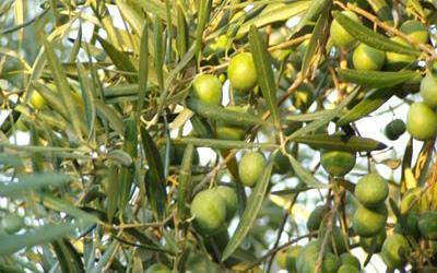 Venta de Finca de olivos con riego por goteo en Sevilla