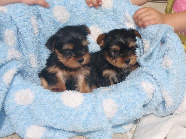 Regalo cachorros yorkshire terrier mini toy para su adopcion