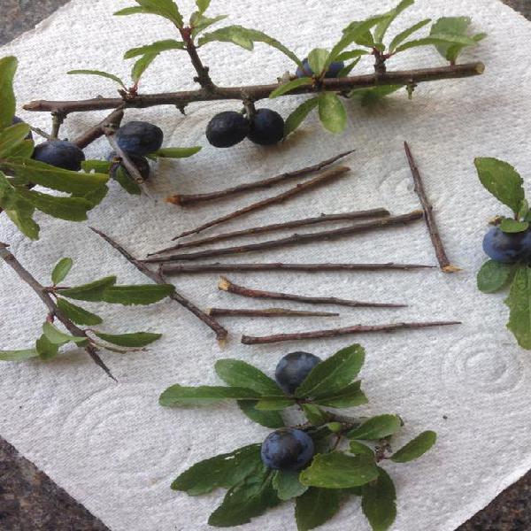 15 espinas blackthorn para protección y hechizos