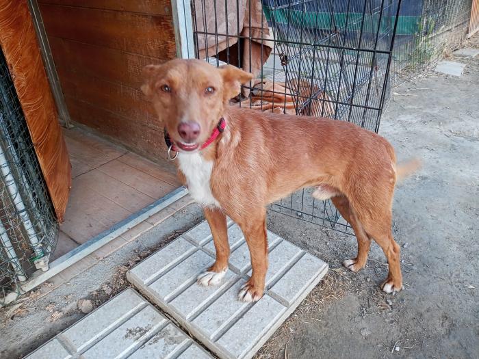 Valentín - perro en adopción