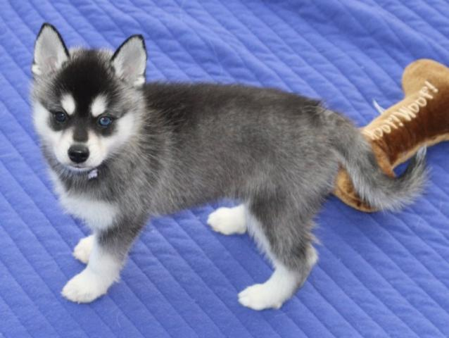 Regalo cachorros husky whatapp numero(+34623376741)