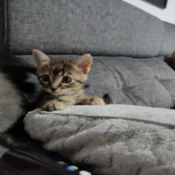 Mini - gato en adopción