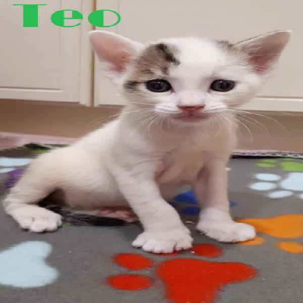 Teo - gato en adopción