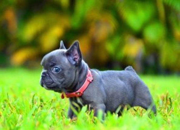 Cachorros de bulldog francés de 12 semanas
