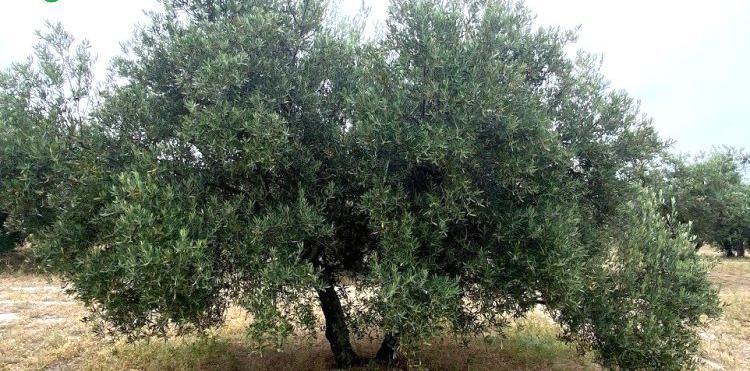 Venta de Finca de olivar tradicional llano y fresco en