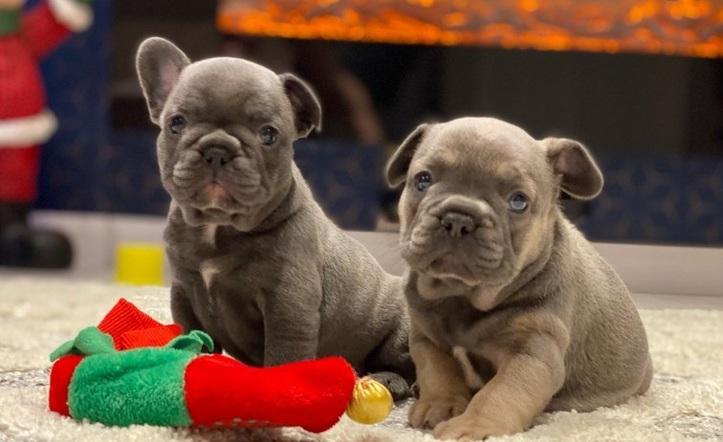 Ee excelente bulldog francés para adopción