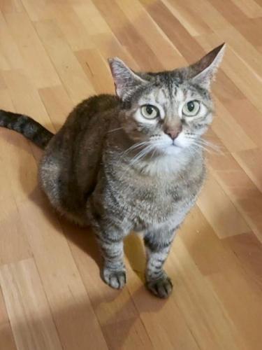 Carolina - gato en adopción