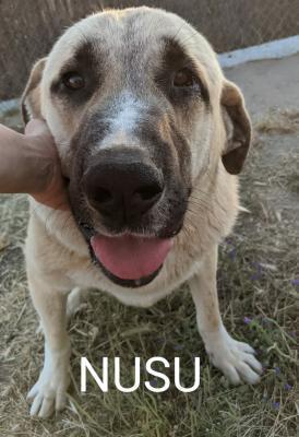 Nusu - perro en adopción
