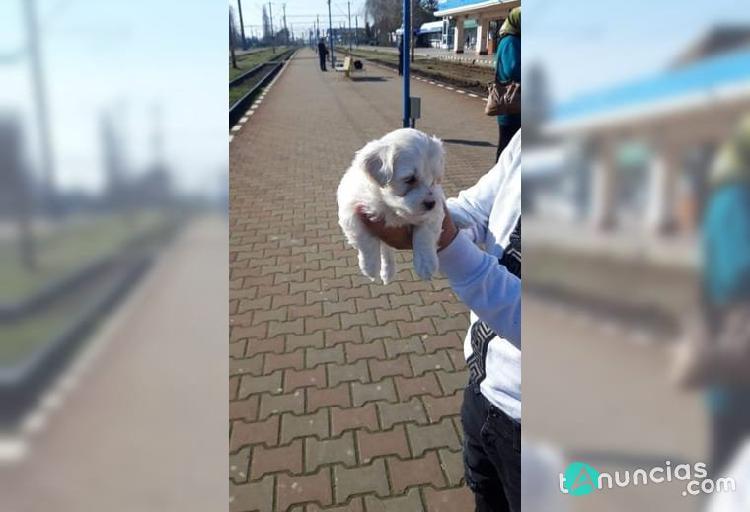 Regalo excelente cachorros maltés