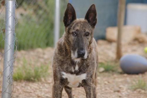 Blues - perro en adopción