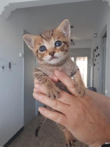 Gatitos en adopción - gato en adopción