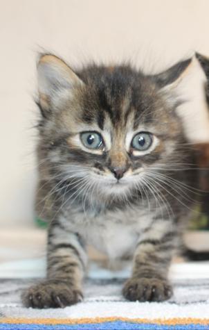 Leoncita - gato en adopción