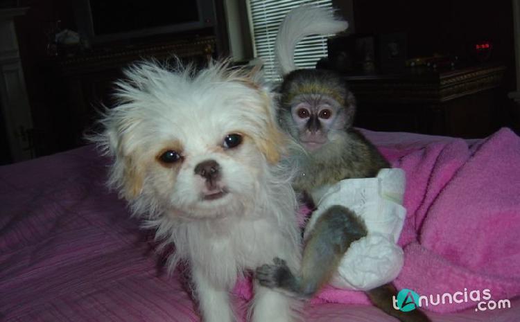 Tenemos unos maravillosos monos capuchinos que est