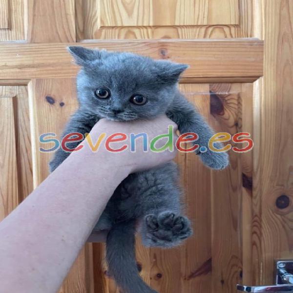 Listo ahora - gatito británico de pelo corto