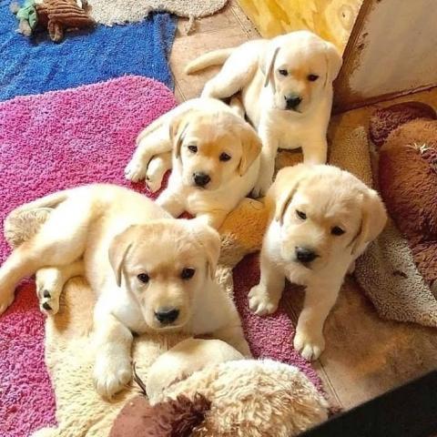 Regala adorables cachorros de labrador para adopción
