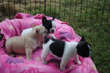 Cachorros de bulldog francés bien entrenados(+34602649670)