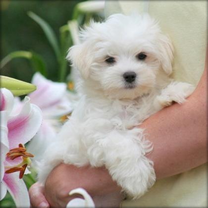 Cachorros malteses registrados de calidad (+34602649670)