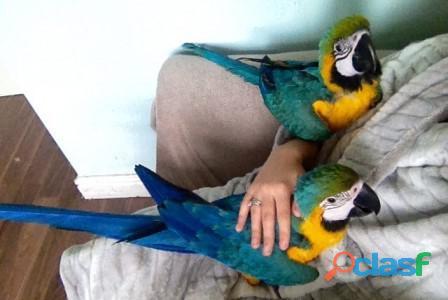Loros guacamayos azules y dorados criados a mano para bebés a la venta