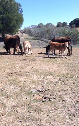 Venta de 13 vacas alistanas en zamora