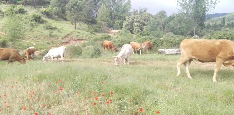 Venta de 20 vacas cruzadas de limusin en albacete