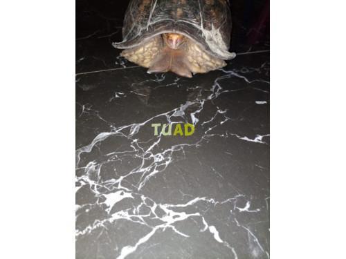 Tortuga bisagra para adopción