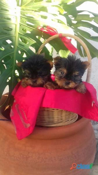 Yorkshire miniaturas cachorros