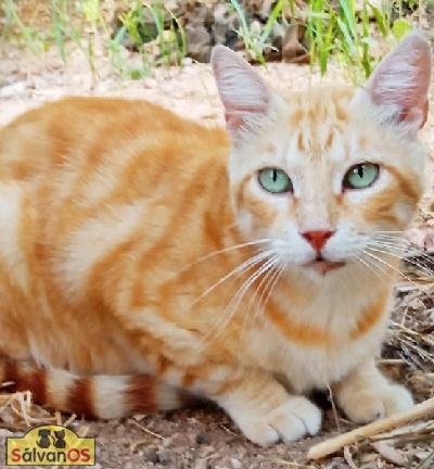 Carlos - gato en adopción