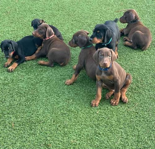 Descripción del anuncio regala cachorros de mini juguete
