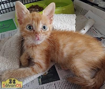 Julius - gato en adopción