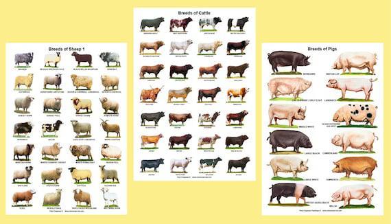 A4 carteles laminados. razas de bovinos, ovinos o porcinos