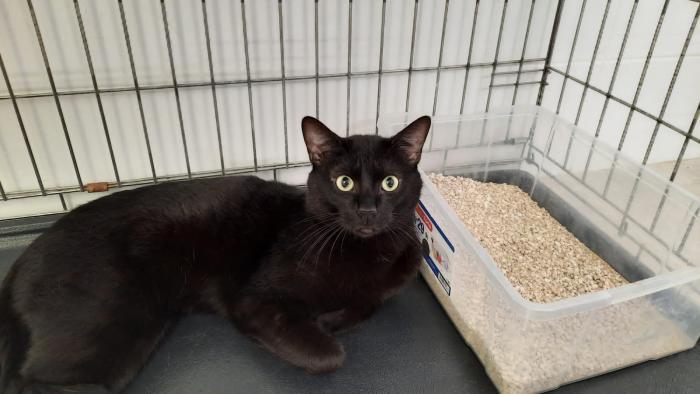 Borde - gato en adopción