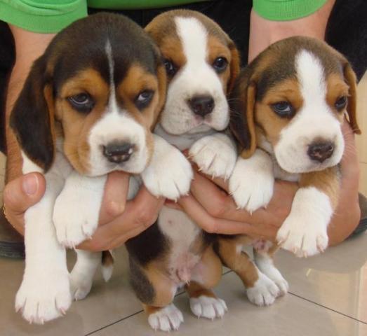 Adorables cachorros de Beagle listos para su adopción