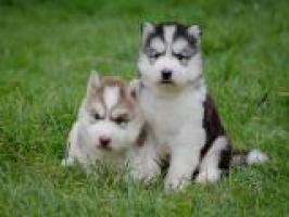 Regala cachorros husky cariñosos listos para ser reubicados