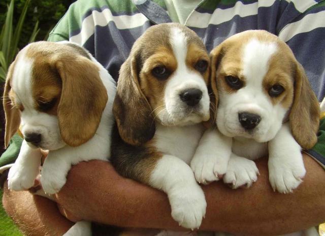 Regalo mini toy cachorros beagle para su adopcion libre,