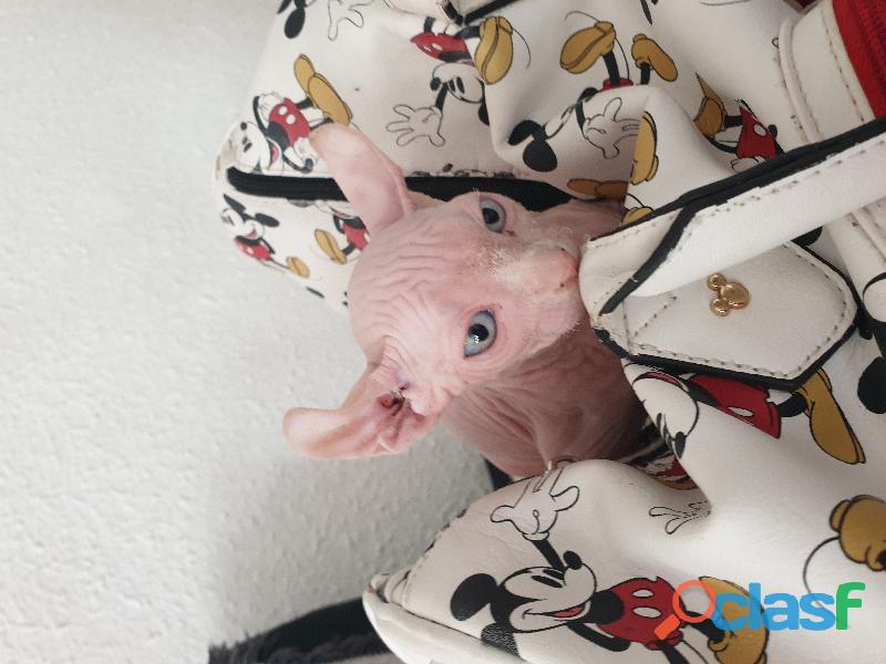 Gatito elfo 3 meses