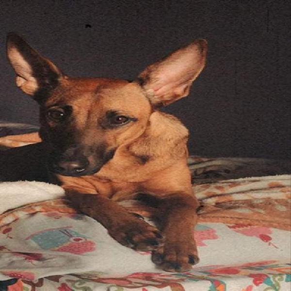 Akira - perro en adopción