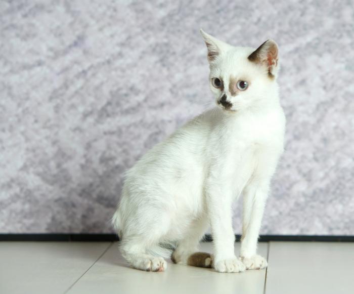 Copito - gato en adopción