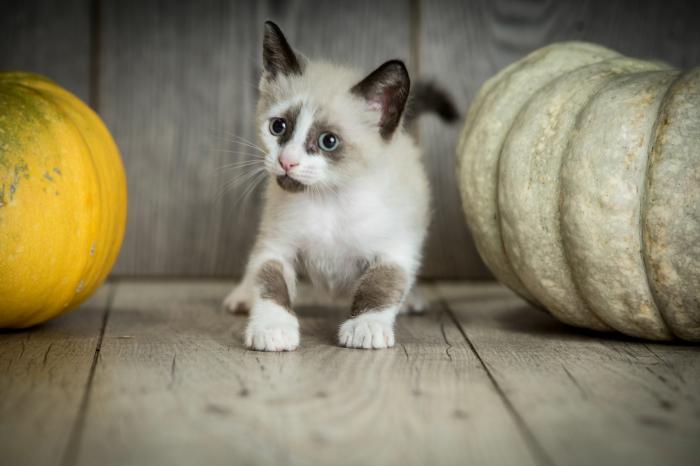 Cosmo - gato en adopción