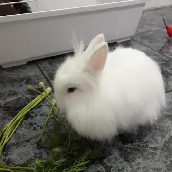 Goku* - conejo en adopción