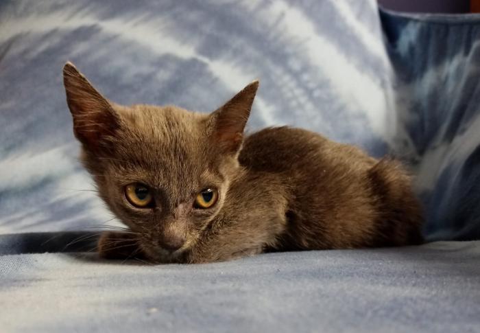 Gris 3 - gato en adopción