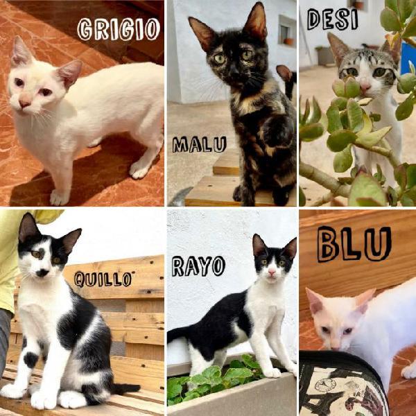 Gatos en adopción - gato en adopción