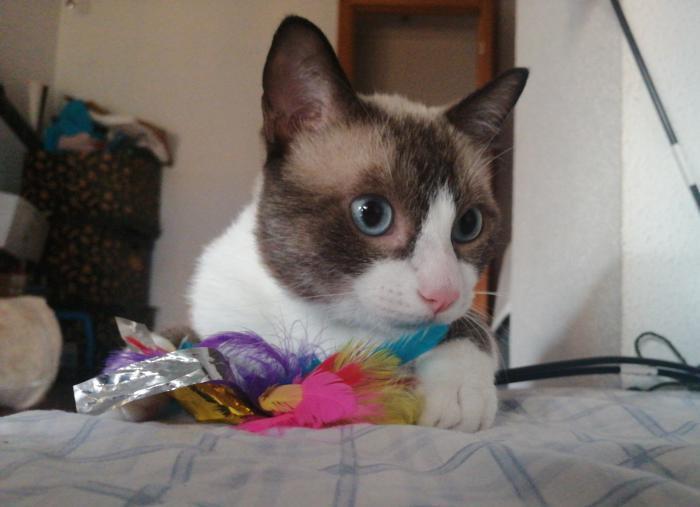 LUIS* - gato en adopción