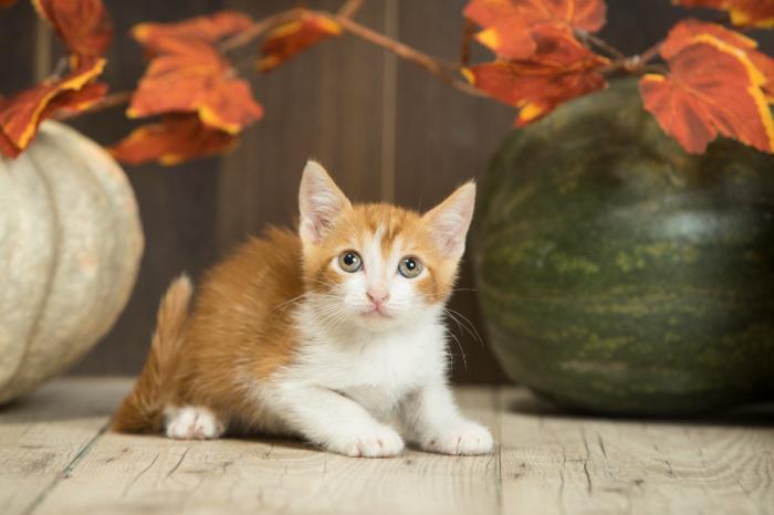 Samael - gato en adopción